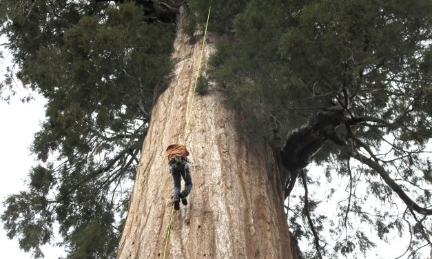 Group clones California giant trees to combat climate change