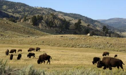 Cellphones spill into Yellowstone's wilds despite park plan