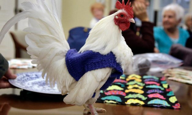 Barn yarn: Retirees knitting sweaters for chilly chickens