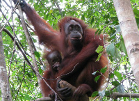 Saving the Sumatran orangutans