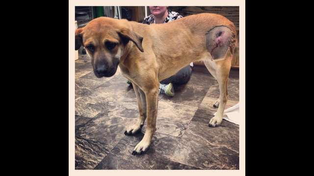Helping Missy Lou gunshot victim pup