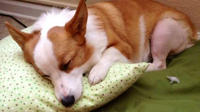 Lulu the Corgi needs help!