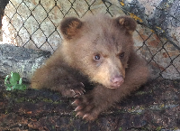 Help TUFF the orphan Grizzly bear cub !!