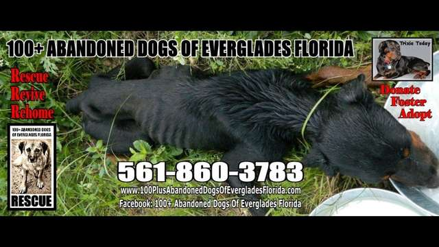 100+ Abandoned Dogs of Everglades Florida