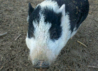 Support the Rescued Pigs at Whispering Rise!