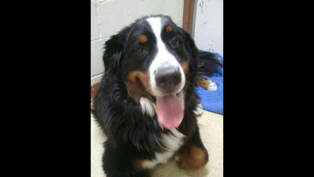 Help BooBoo the Bernese get his surgery