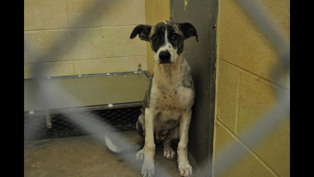 134574 PIPER Female Pointer Mix Pup 6 mos- sweet