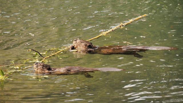 Help a family of beavers in Mission BC