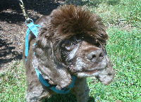 Buster Brown, the brave little spaniel.