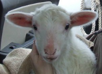 Celebrate Spring by Rescuing a Lamb from Slaughter