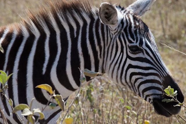 Zebra Lake Nakuru Kenya