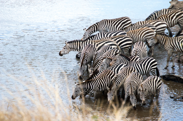 Zebra migration Kenya