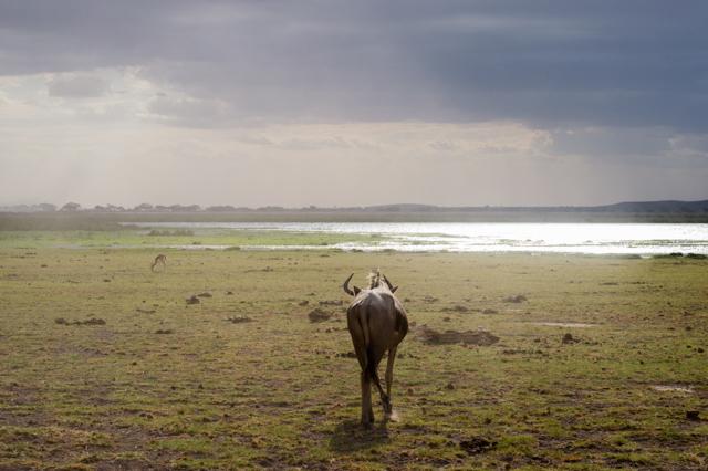 Wildebeest Ambosli Kenya