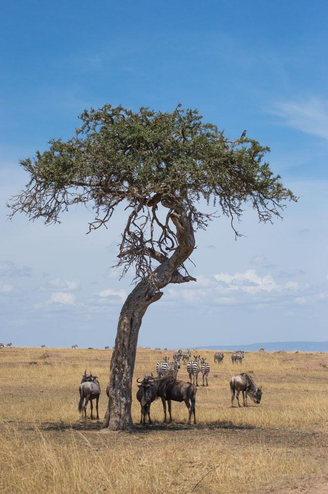 Masai Mara acacia Kenya