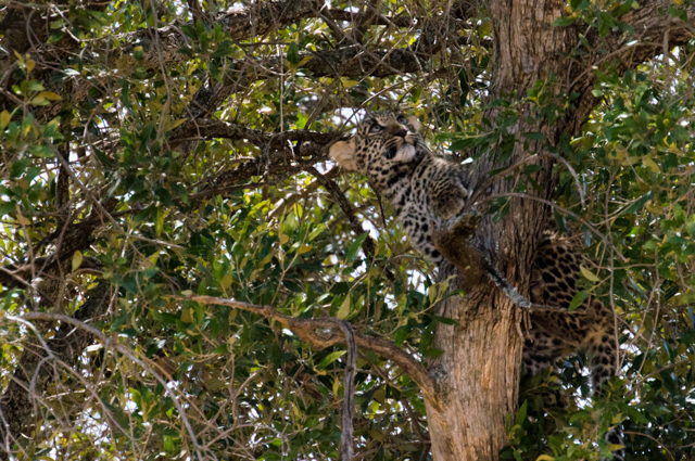 Leopard cub Kenya