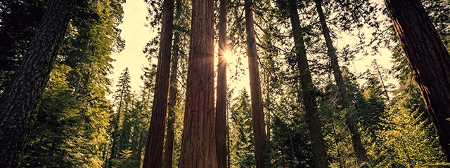 Experience the sequoia trees in Yosemite National Park