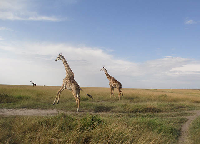 Giraffes running in Kenya