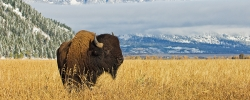 Where to see American bison