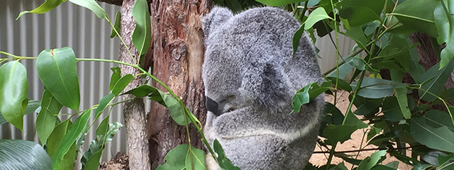 AUN_koala_traveler photo_640x240px