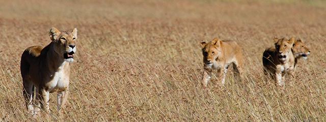 lions_640x240