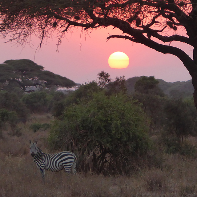 zebra-safari_640x640