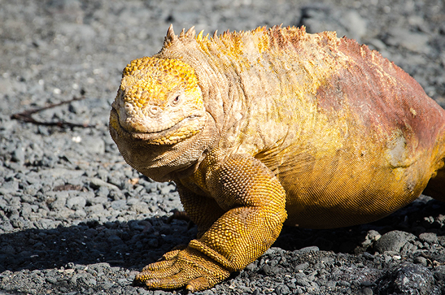 galapagos-island-iguana