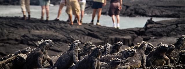 Fernandina-island-ecuador-galapagos-iguana