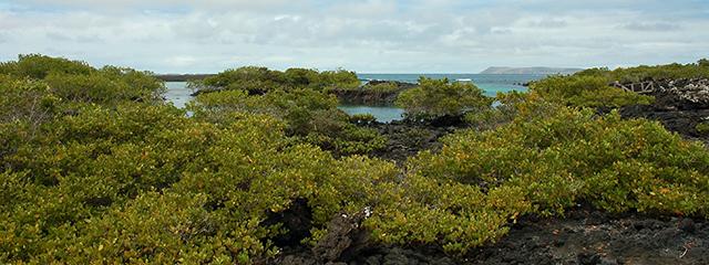 mangrove-trees-isabella-island-ecuador-galapagos