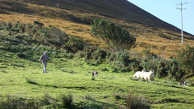 Herding demonstration in the Ring of Kerry, Ireland