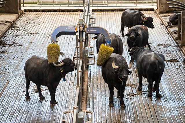 Paestum Buffalo Mozzarella Farm