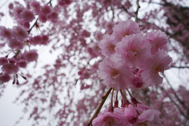 cherry-blossoms-close