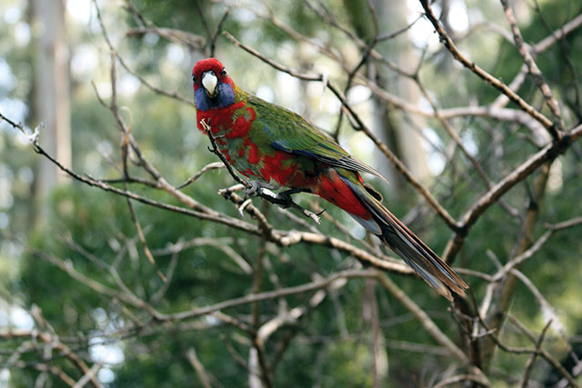 Bird from Dandenong, Australia