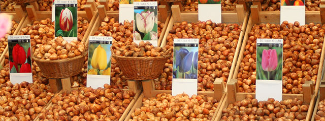 Tulip bulbs in Amsterdam, the Netherlands