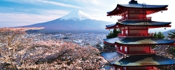 In full bloom: Japan's cherry blossoms