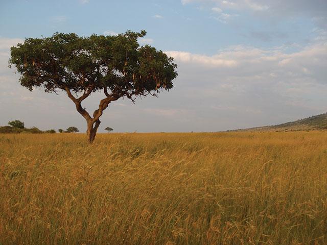 Kenya Acacia tree