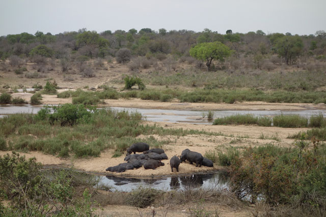 Hippos at Kruger National Park