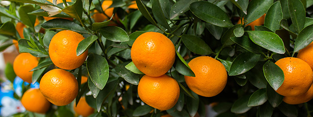 Tangerines and oranges bring good fortune during Chinese New Year.