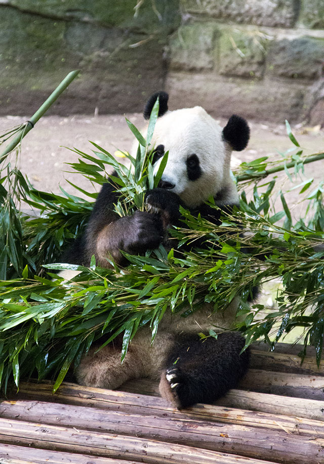 day8-panda