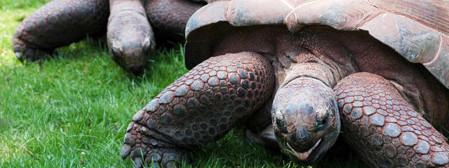 giant tortoise on the Galápagos Islands.