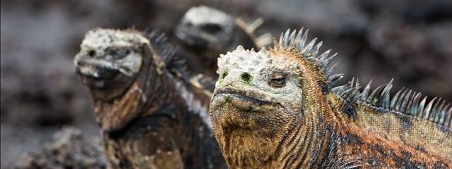 Marine iguana on the Galápagos Islands.