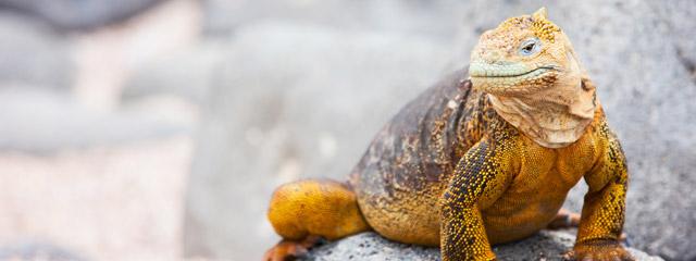 Land iguana on the Galápagos Islands.