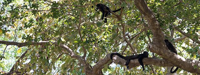 spider_monkeys_costa_rica