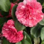 Camellias are in bloom.