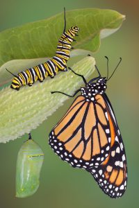 camping-monarch-butterfly-and-catapillar
