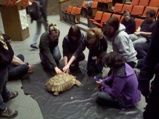 "African Sulcata ""Chibi"" at a High School"