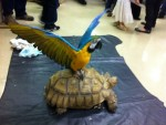 Chewchi the Blue and Gold Macaw Shows Off While Perched on Chibi the Sulcata