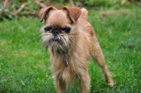 Bugsey the Brussels Griffon