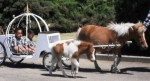 Mini horse drawn carriage rides