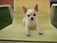 Dog Actors - Chihuahua Performers - Animal Talent - Model in Seattle, Washington