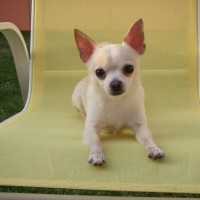 Dog Actors - Chihuahua Performers - Animal Talent - Animal Entertainment / Model in Seattle, Washington